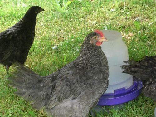 chick13.jpg